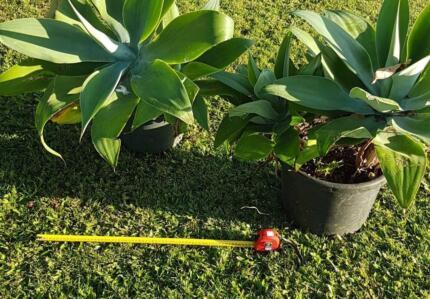 Agave plant large Pickup Buderim COD