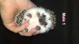 Baby hedgehogs ready to go