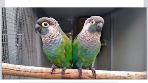 Pearly Conure Pair Tamworth Tamworth City Preview