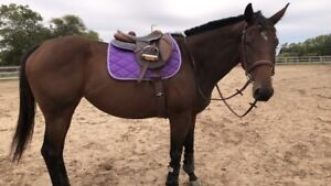 Thoroughbred mare for PART BOARD only near Haldimand County