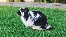 Netherland Dwarf x Mini Lop Bunny Bass Hill Bankstown Area Preview