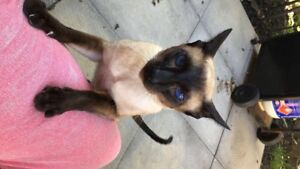 Male Siamese Cat Looking for a friend.