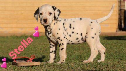Dalmatian Puppy's ready to go next week