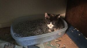 Female tori Kitten FOR SALE Waterford West Logan Area Preview