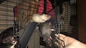 6 boy rats need to find homes