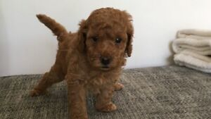 Red Male Toy Poodle