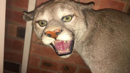 Cougar - Full Mount -Taxidermy