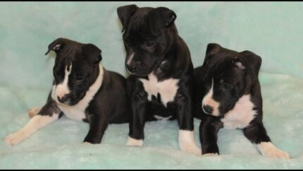 American Staffordshire Terrier - Papered Puppy - old type amstaff