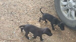 Great Dane puppies Gympie Area Preview