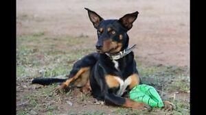 Kelpie Puppies. Brown/Tan & Black/Tan Eden Hill Bassendean Area Preview