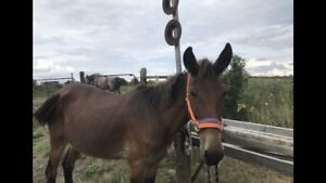 Molly mule project or herd guardian