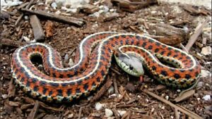 Need hater snake for school project about garter snakes