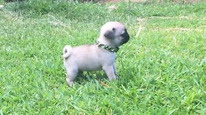 Purebred pug puppies Dubbo Dubbo Area Preview