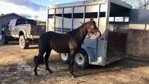 2.5 year old papered bay mare