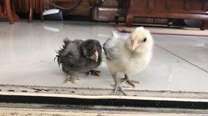 Aricano chicks Lidcombe Auburn Area Preview