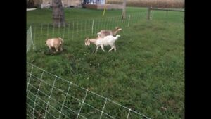 Need Gone 3 nanny boar goats for sale