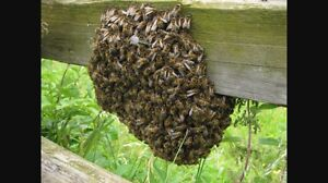 Free Bee swarm rescue / unwanted hive removal Woongarra Bundaberg City Preview