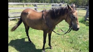 Horse Burnt Buckskin Mare 17yrs 13.2hh Clarence Town Dungog Area Preview
