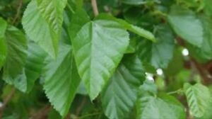 Mulberry leaves- silk worms Eagleby Logan Area Preview