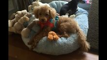 Tiny toy poodle Rose Bay Eastern Suburbs Preview