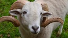 2 year old pure Wiltshire ram Darnum Baw Baw Area Preview