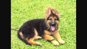 LOOKING FOR PURE GERMAN SHEPHERD PUPPY Logan Central Logan Area Preview