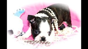 Boston terrier pups ready now