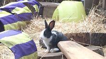 Rabbit for sale Rosebud Mornington Peninsula Preview