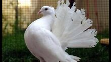 White fan tail pigeons Riverstone Blacktown Area Preview