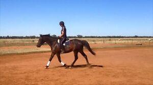 Standardbred gelding Tichborne Parkes Area Preview