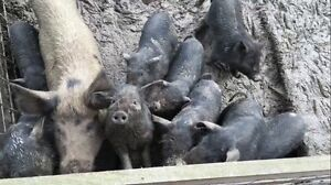 9 piglets for sale Wandin North Yarra Ranges Preview