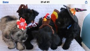 Beautiful Miniature Schnauzer puppies