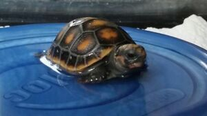 Captive bred redfoot Tortoises available