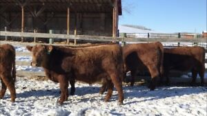 Registered Red Angus Yearling Bulls For Sale