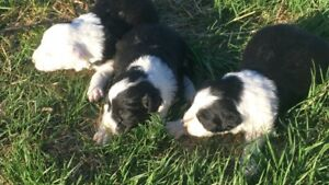 Border Collie puppies (SOLD)
