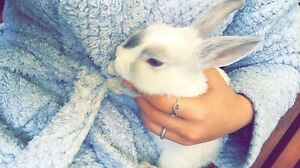 Netherland dwarf Airport West Moonee Valley Preview