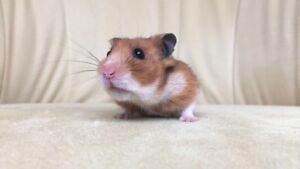 Cottontail Cottage Small Animals—Hamster for Adoption