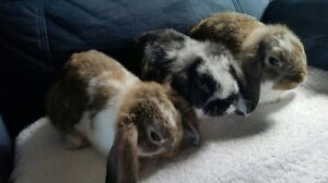 Dwarf Lop Pure Breed Baby rabbit Kariong Gosford Area Preview
