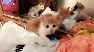Ginger baby boy kitten FOR SALE Waterford West Logan Area Preview