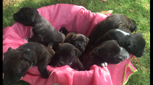 Staffordshire Terrier Pups Champion Bloodlines Albury Albury Area Preview