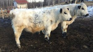 Yearling Speckle Park Bulls