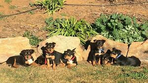 Kelpie puppies Black and Tan working dogs Harden Harden Area Preview