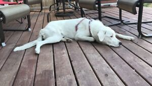 Great Pyrenees needs active forever loving home