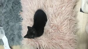 6 month old black kitten Hornsby Hornsby Area Preview