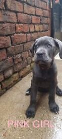 CANE CORSO PUPPIES CHAMPION BLOODLINES READY FOR THEIR NEW HOMES