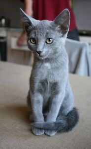Looking for a russian blue cat Pure bread