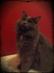 Beau chat affectueux à donner/adopter