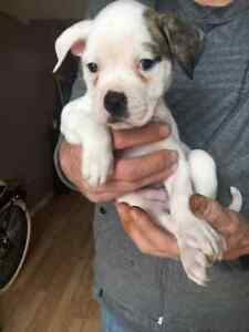 American Bulldog Kijiji In Ontario Buy Sell Save With