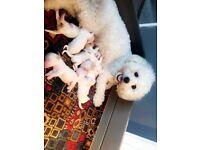 Amazing quality KC registered Bichon Frise Puppy's.