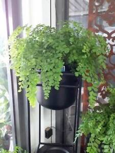 Maiden hair ferns. Indoor plants. Start at $12.90 each. Ltd stock. Heatherton Kingston Area Preview